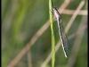 Agrion porte-coupe (enallagma cyathigerum) femelle