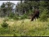 Orignal, Parc des Hautes-Terres-du-Cap-Breton, Nouvelle-Écosse - Août 2010