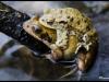 Grenouille rousse et crapaud commun (Rana temporaria - Bufo bufo)
