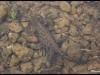 Triton alpestre (Ichthyosaura alpestris)