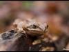 Grenouille rousse (Rana temporaria)