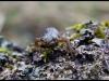 Triton ponctué (Lissotriton vulgaris)