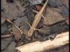 Triton palmé (Lissotriton helveticus)