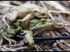 Crapaud commun et grenouille verte (bufo bufo et rana esculenta)