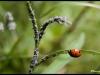 Coccinelle à sept points ( coccinella septempuncta) et pucerons