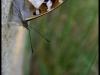 Grand mars changeant (apatura iris)