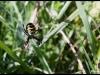 Araignée tigre / Epeire fasciée (Argiope bruennichi)