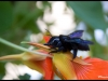 Xylocope violet (xylocopa violacea)